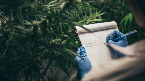 Wee Hemp Blog - the Culture - Clinical Study On 200 People Aims To Establish 'Safe' THC Level In Full Spectrum Hemp Extracts