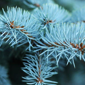 blue spruce fir fragrance oil