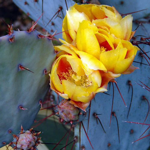 Cactus Flower Fragrance Oil