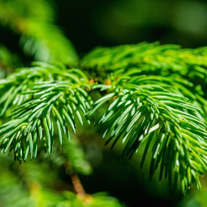 pine spruce essential oil