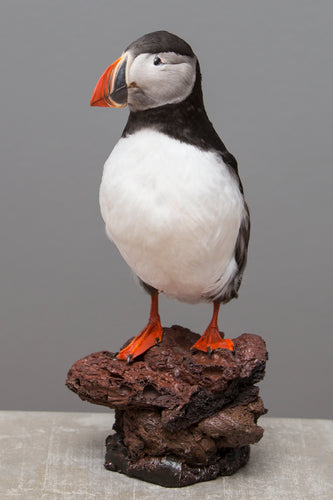 Mounted Atlantic Puffin