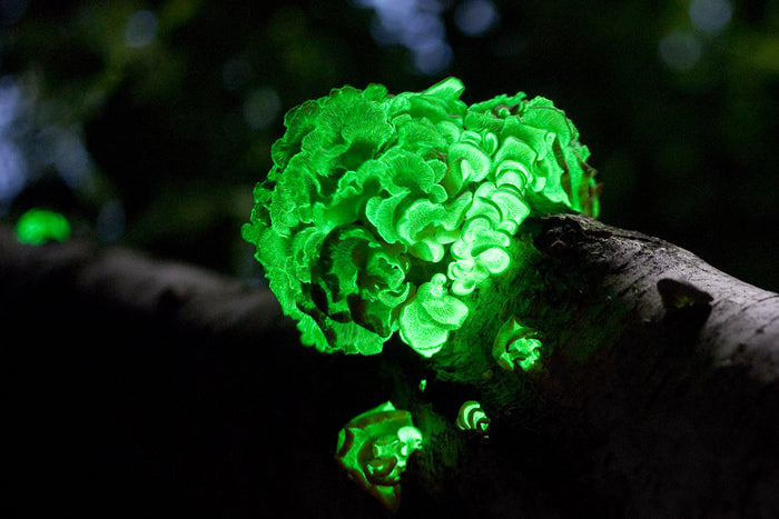 Fungal Luminescence