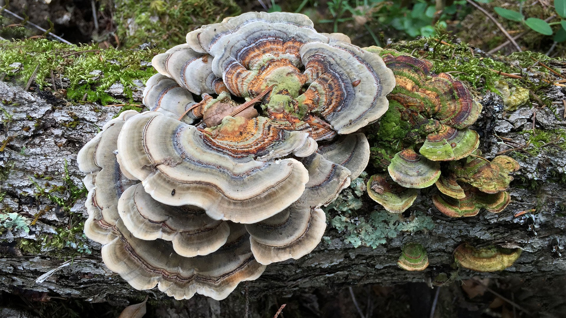 Mushrooms and Mycelium Help the Microbiome — Fungi Perfecti