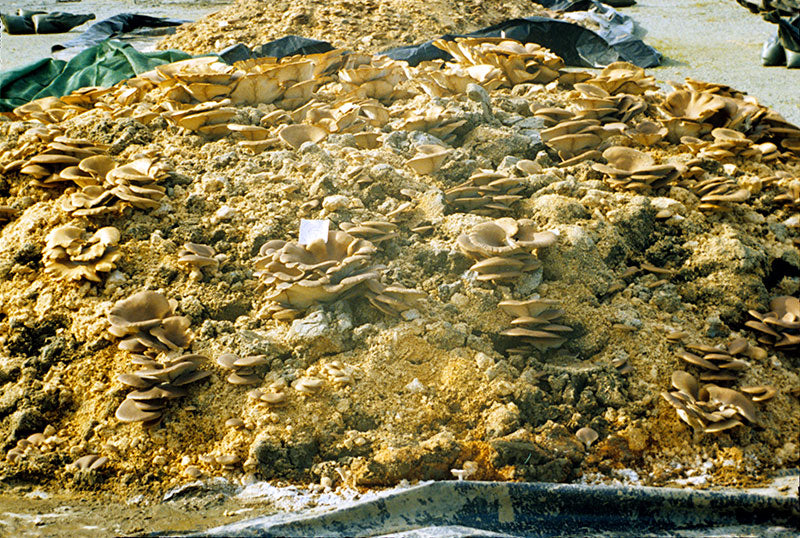 Oyster mushrooms producing on oil contaminated soil