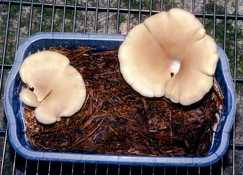 New crop of mushrooms form several weeks later