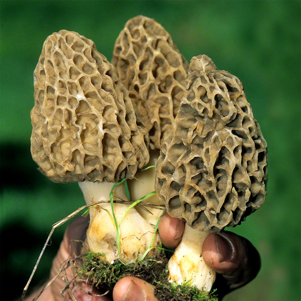 Morchella esculenta Culture