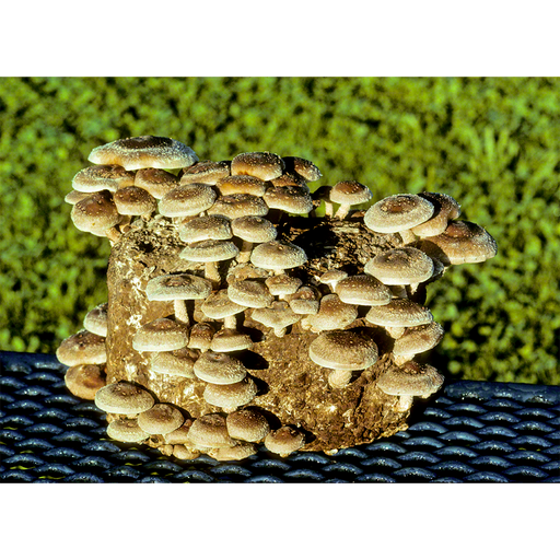 The Shiitake Mushroom Patch™ - Special Price for 3