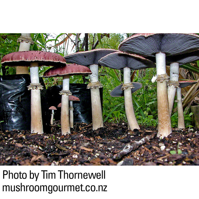 A mature Stropharia forest. Photo by Tim Thornewell.