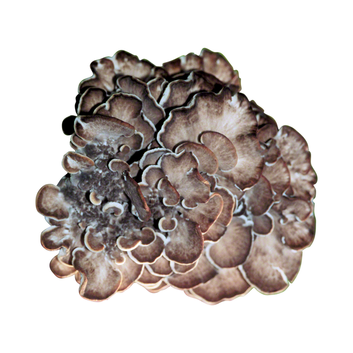 Maitake Plug Spawn - Approximately 100 Plugs