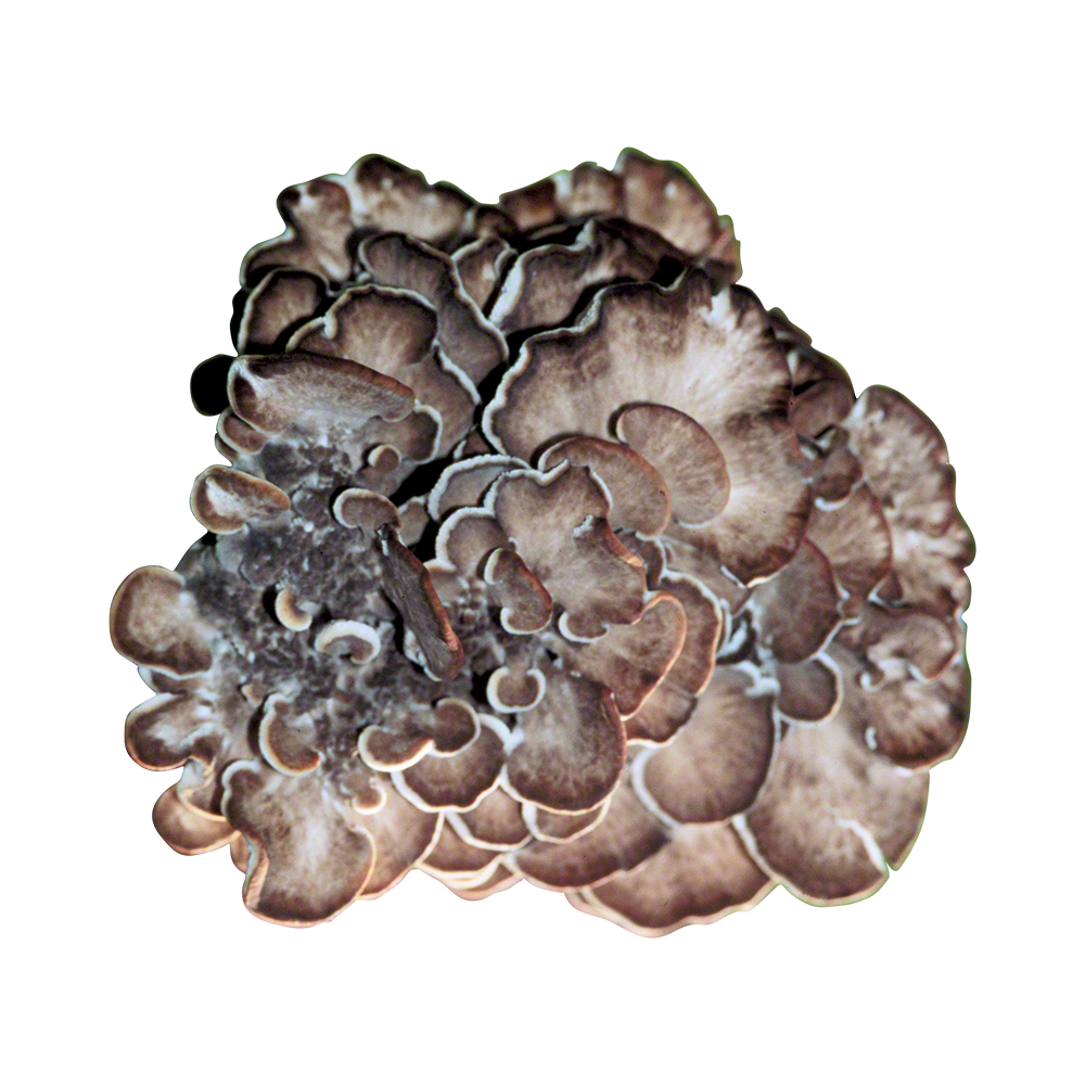 Maitake Plug Spawn - Approximately 1000 Plugs