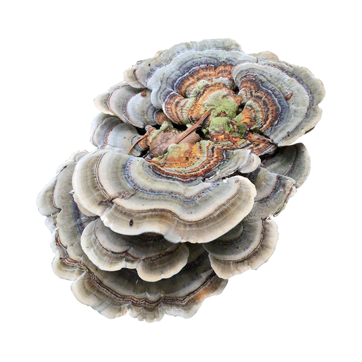 Turkey Tail Plug Spawn - 100 Plugs