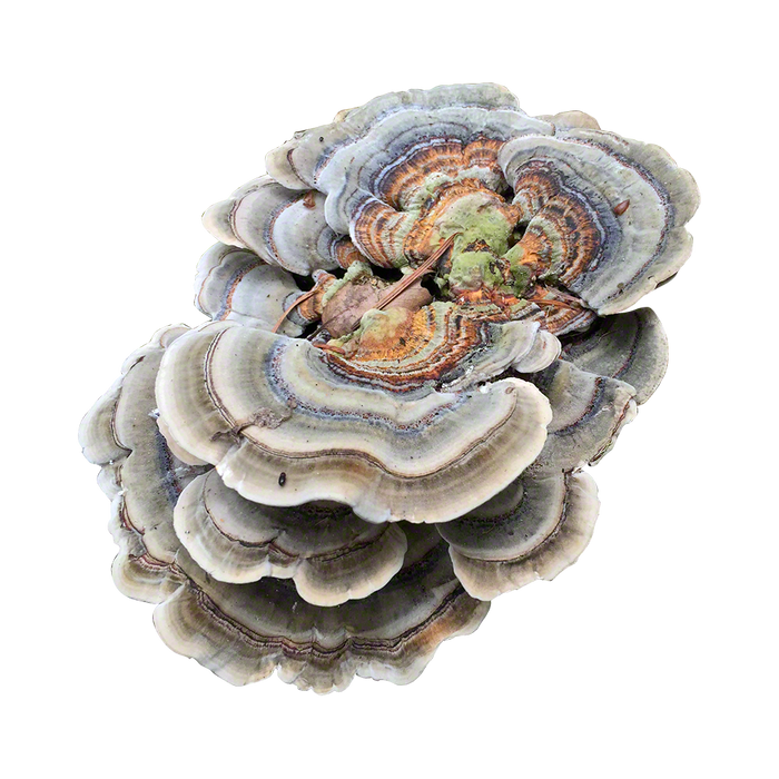 Turkey Tail Plug Spawn - Approximately 100 Plugs