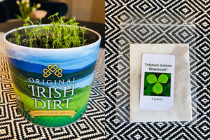 A Real Irish Shamrock: Growing Instructions