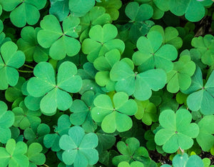 A Real Irish Shamrock: Everything You Need to Know