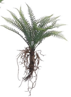 Fern w/ Exposed Roots