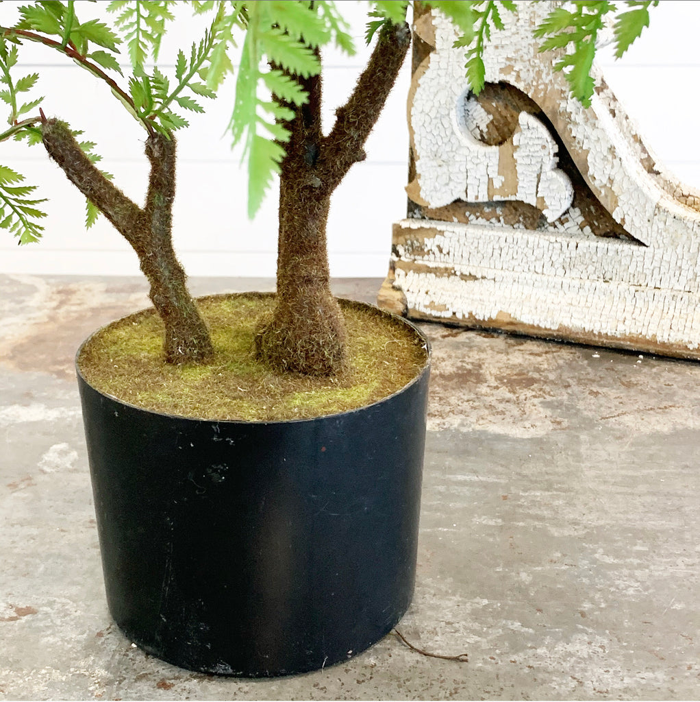 Fern in Black Pot LAST CHANCE