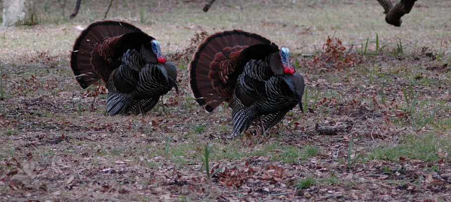Locating A Preseason Turkey: 3 Key Approaches