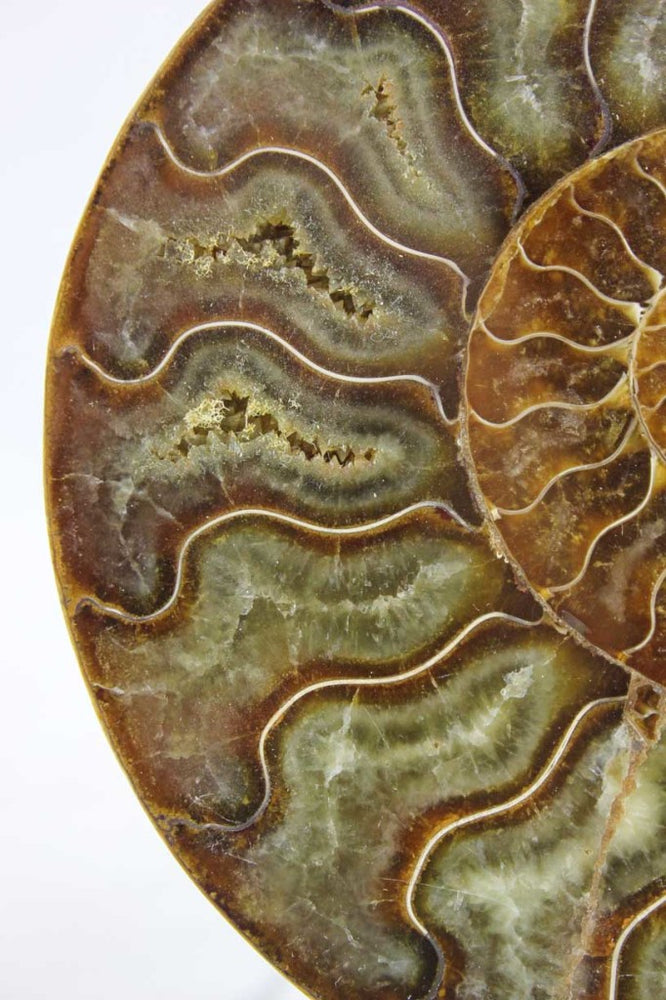 Ammonite Pair