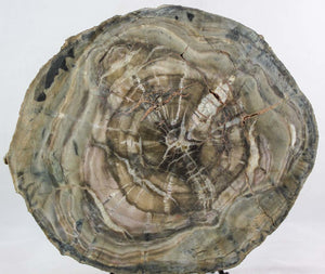 Woodworthia Petrified Wood