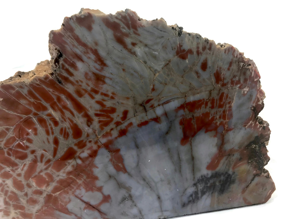 Bark Edged Petrified Wood