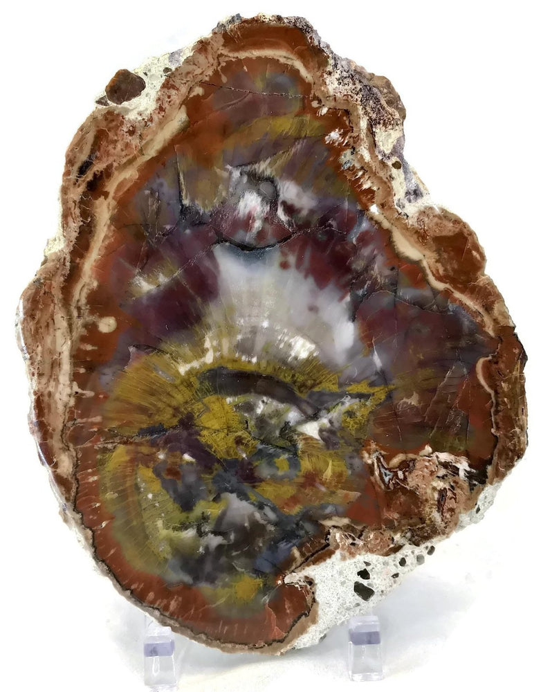 Rainbow Petrified Wood Slab