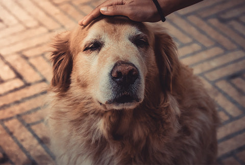 Using Cannabis on Older and ageing Pets
