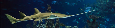 image of a sawfish swimming in the ocean