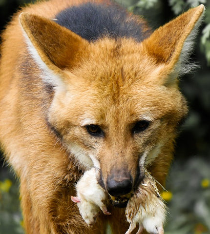 image of a maned wolf and its prey