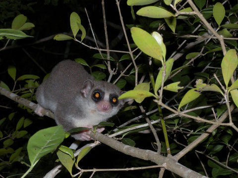 image of a fat tailed dwarf lemur sitting on a tree branch
