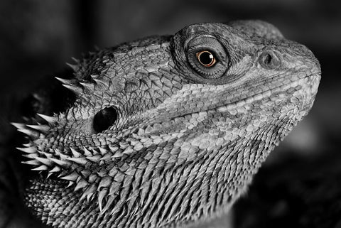 image of a bearded dragon in black and white