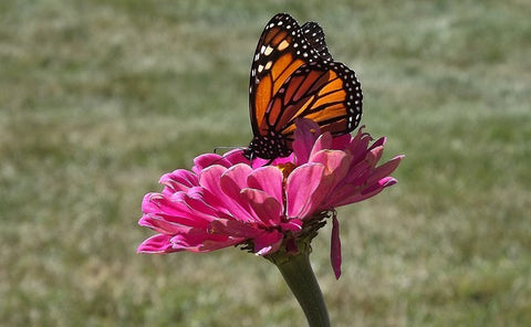 image of a butterfly sitting on a pink flower