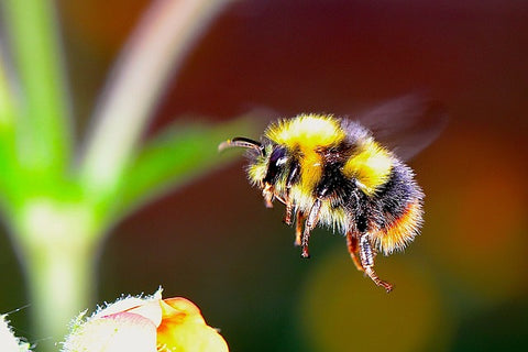 image of a bumble bee flying towards a flower