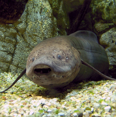 image of an african lungfish resting on the sea bed