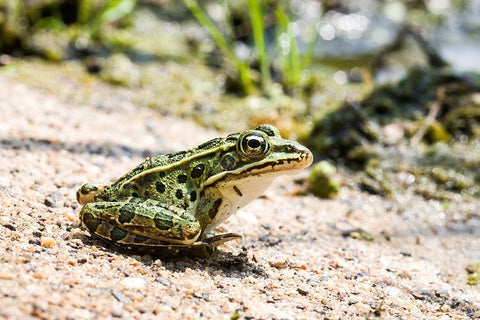 image of a leopard frog sitting on sand