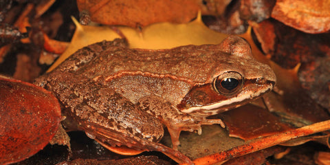 image of a wood frog sitting on a pile of leaves