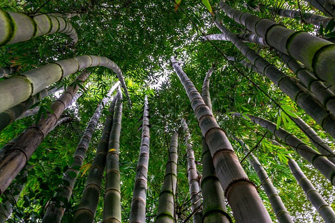 image of a bamboo forest