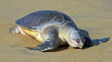 image of an olive ridley sea turtle
