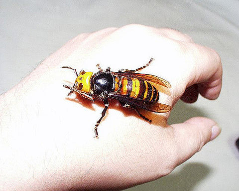 image of a giant hornet