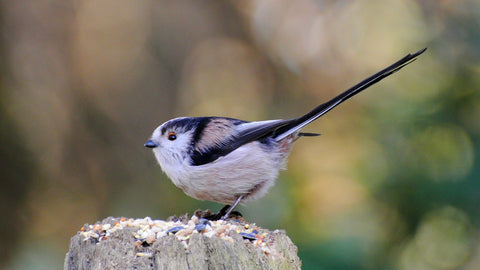 image of a long tailed tit