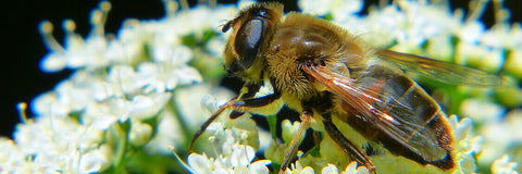 image of a drone honey bee