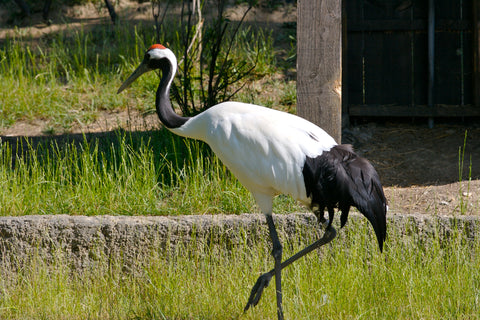 image of a red crowned crane