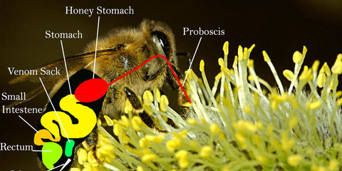 a graphic showing the anatomy of a honey bee