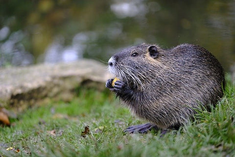 image of a beaver
