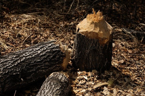 image of a tree fallen by a beaver
