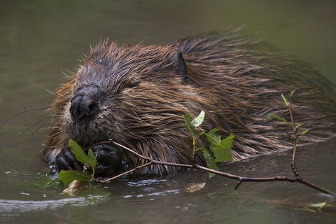 image of a beaver swimming in a river