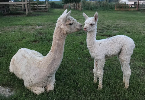 alpaca farm, Kentucky farm, natural fiber, alpaca yarn