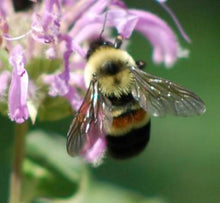 Adopt a Rusty Patched Bumblebee