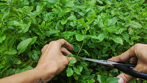 taking a mint clipping