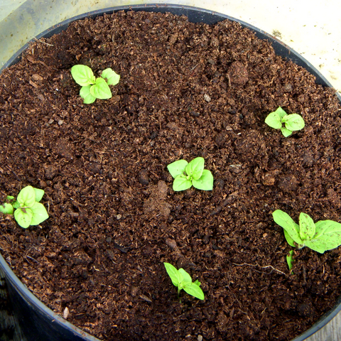 mint seeds sprouting in a container