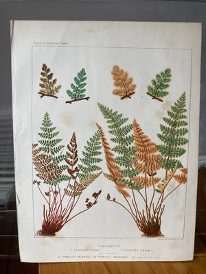Large Antique Victorian Fern Print